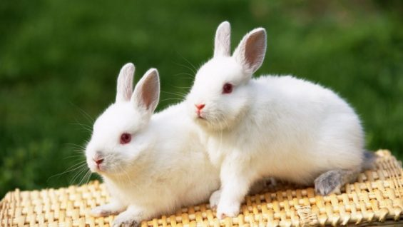 s_wonderful-white-rabbits-cute-animal-224728