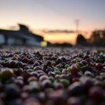 コーヒー豆の種類・産地!流行りのスペシャルティーコーヒの規格を学ぶ!