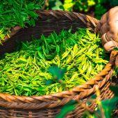 タイの女優が若い理由「バタフライピー」美容効果抜群の紅茶の正体とは!お勧めの飲み方も公開!